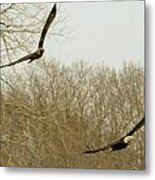 Adult And Immature Bald Eagle Flying Metal Print