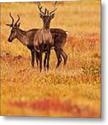 Adult Caribou In The Fall Colours Metal Print