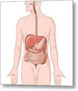 Adult Male Digestive System Metal Print