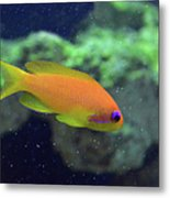 African Anthias Metal Print