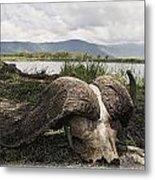 African Cape Buffalo Skull, Ngorongoro Metal Print