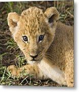 African Lion Panthera Leo Five Week Old Metal Print