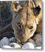 African Lion Panthera Leo Raiding Metal Print