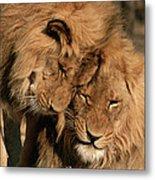 African Lion Panthera Leo Two Males, Mt Metal Print