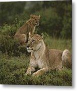 African Lionesses In Masai Mara Metal Print