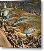 Afternoon Nap Metal Print