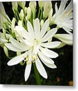 Agapanthus Close-up Metal Print