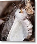 Agreeable Tiger Moth With Ant Metal Print