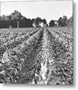 Agriculture- Corn 2 Metal Print