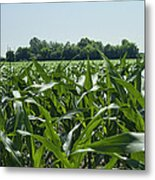Alabama Field Corn Crop Metal Print