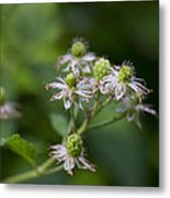 Alabama Wild Blackberries In The Making Metal Print