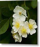 Alabama Wildflower Roses - Rosa Multiflora Metal Print