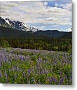 Alaska Lupine Metal Print