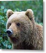 Alaskan Brown Bear Metal Print