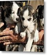 Alaskan Huskey Puppies Metal Print