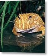 Albino Horned Frog Metal Print