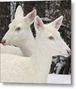 Albino White Tailed Deers Metal Print