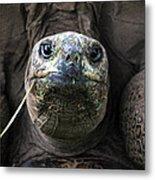 Aldabra Tortoise Metal Print