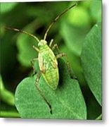 Alfalfa Plant Bug Metal Print