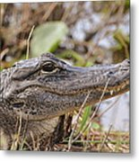Alligator 1 Metal Print