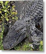 Alligator Alley Friend  Metal Print