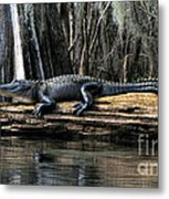 Alligator Sunning Metal Print