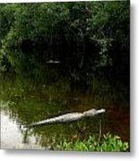 Alligators In The Evergaldes Metal Print