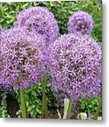 Allium Flower (allium Sp.) Metal Print