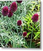Allium Sphaerocephalum Flowers Metal Print