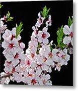 Almond Blossom 0979 Metal Print