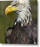 Almost There - Bald Eagle Metal Print