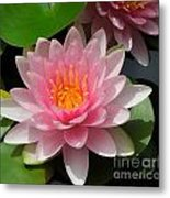Almost Two Pink Water Lilies Metal Print