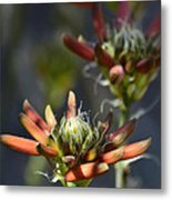 Aloe Vera Blossoms  Metal Print