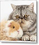 Alpaca Guinea Pig And Silver Tabby Cat Metal Print