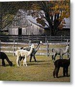 Alpacas In Vermont Metal Print