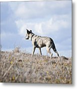 Alpha Dog Metal Print