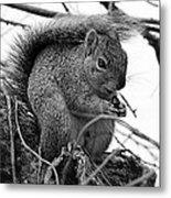 Alpha Squirrel  Metal Print