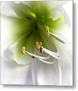 Amaryllis  Metal Print by Jane Rix