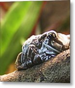 Amazon Milk Frog Metal Print