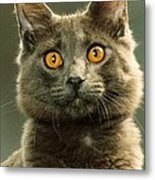 Amber-eyed Domestic House Cat Metal Print