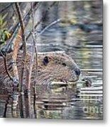 American Beaver Metal Print