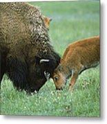 American Bison Cow And Calf Metal Print