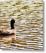 American Coot Floating By Metal Print