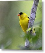 American Goldfinch - Peaceful Metal Print
