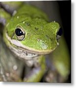 American Green Treefrog Metal Print by Clay Coleman