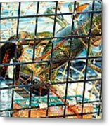 American Lobster In Trap In Chatham On Cape Cod Metal Print