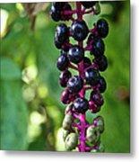 American Pokeweed Berries Metal Print