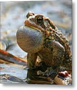 American Toad Croaking Metal Print
