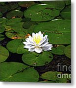 American White Waterlily Metal Print