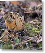 American Woodcock Bird Metal Print